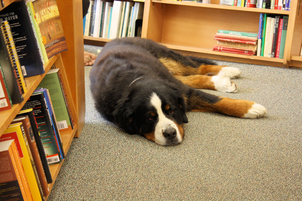 Snoozing in the stacks at the Yankee Book Shop, Woodstock, VT